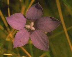 Australische Buschbl&uuml;te (Australian Bush Flower) <!--103408-->Bluebell