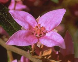 Australische Buschbl&uuml;te (Australian Bush Flower) <!--103410-->Boronia