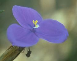 Australische Buschbl&uuml;te (Australian Bush Flower) <!--103414-->Bush Iris