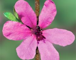 Australische Buschbl&uuml;te (Australian Bush Flower) <!--103419-->Dog Rose of the Wild Forces
