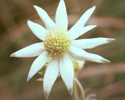 Australische Buschbl&uuml;te (Australian Bush Flower) <!--103421-->Flannel Flower