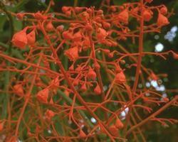 Australische Buschbl&uuml;te (Australian Bush Flower) <!--103429-->Illawarra Flame Tree