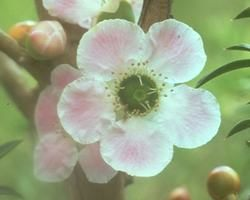 Australische Buschbl&uuml;te (Australian Bush Flower) <!--103443-->Peach-flowered Tea-tree