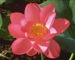 Australische Buschbl&uuml;te (Australian Bush Flower) <!--103449-->Red Lily