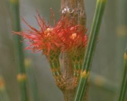 Australische Buschbl&uuml;te (Australian Bush Flower) <!--103452-->She Oak