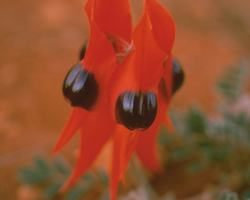 Australische Buschbl&uuml;te (Australian Bush Flower) <!--103457-->Sturt Desert Pea
